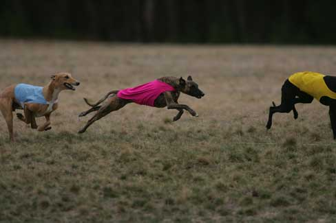 Chai in pink, running at the 2006 AWC National Specialty ASFA trial,