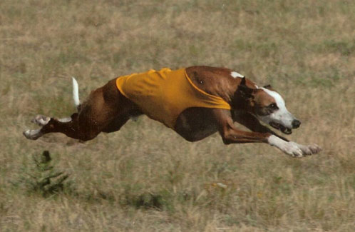 Ever the photogenic one; Irish running at the 2006 II in Colorado where he got 2nd in his FCH flight.